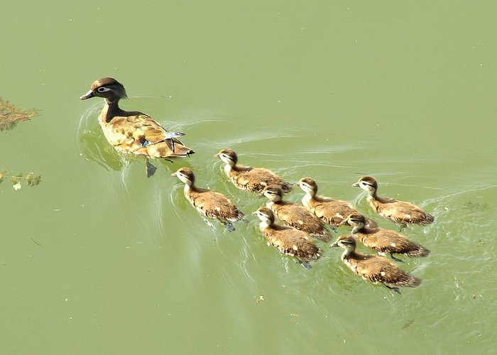 Duck Greeting Card featuring the digital art Mama Duck And Ducklings by James Granberry