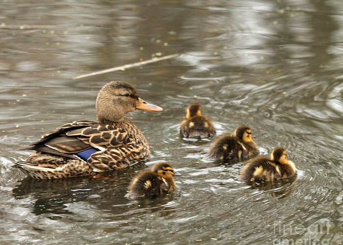 Birds Greeting Card featuring the photograph Mama Mallard With Babies by Deborah Smith