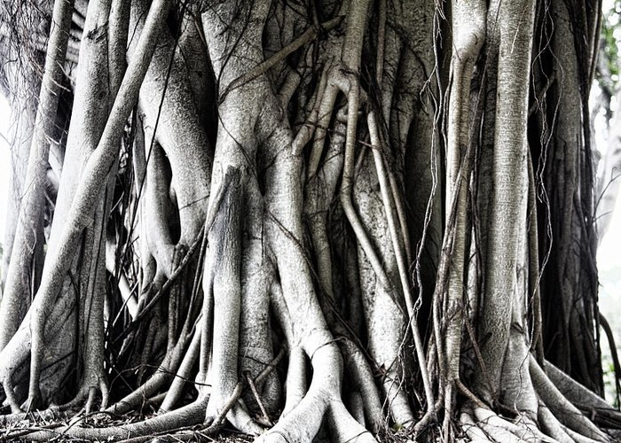Mangrove Greeting Card featuring the photograph Mangrove Tentacles by Douglas Barnard