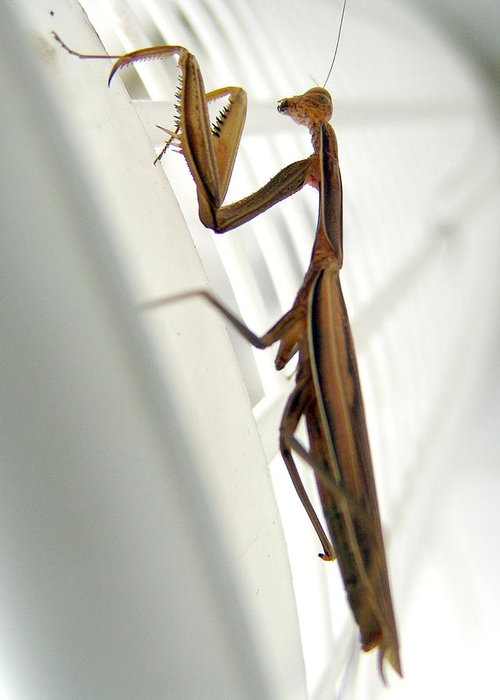 Mantis Greeting Card featuring the photograph Mantis by Alessandro Della Pietra