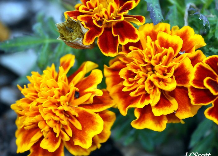 Marigolds Greeting Card featuring the photograph Marie by LC Linda Scott