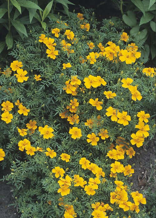 'tangerine Gem' Greeting Card featuring the photograph Marigolds (tagetes 'tangerine Gem') by Adrian Thomas