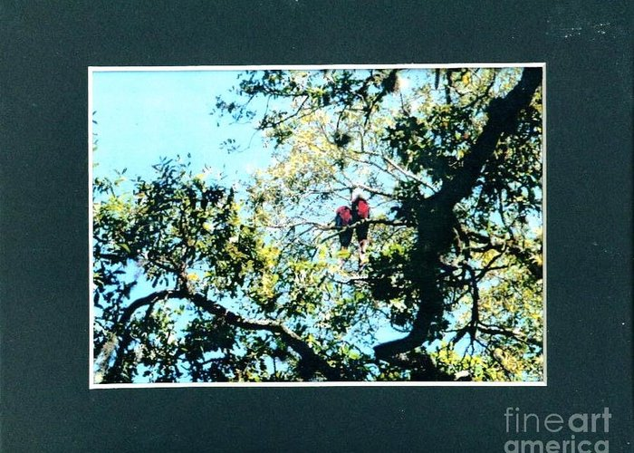 Pair Greeting Card featuring the photograph Mating Parrots by Debbie Wassmann