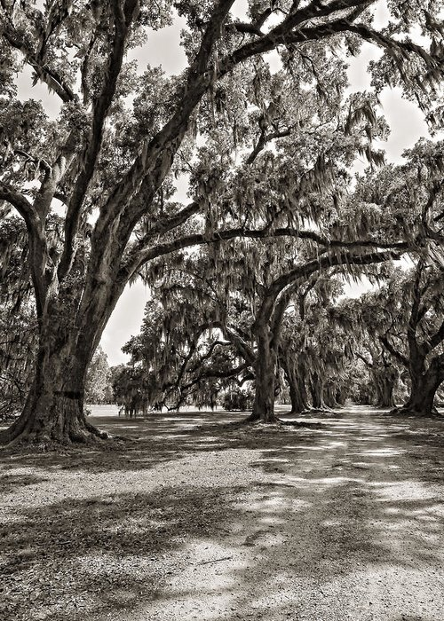 Evergreen Plantation Greeting Card featuring the photograph Memory Lane Monochrome by Steve Harrington