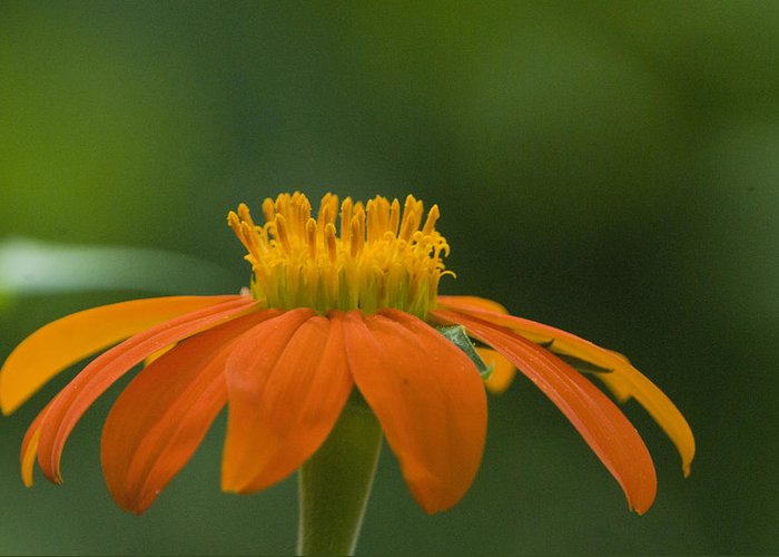 Mexican Sunflower Greeting Card featuring the photograph Mexican Sunflower by Eva Jo Wu