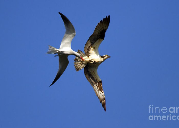 Birds Greeting Card featuring the photograph Mid-air Attack by Mike Dawson