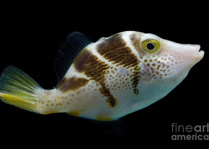 Blacksaddle Filefish Greeting Card featuring the photograph Mimic Saddle Puffer by Dant� Fenolio