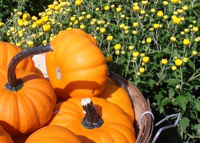 Pumpkins Greeting Card featuring the photograph Mini Pumpkins by Kimberly Perry