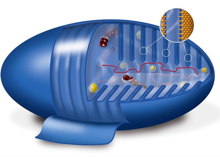 Mitochondrion Greeting Card featuring the photograph Mitochondrion, Artwork by Art For Science