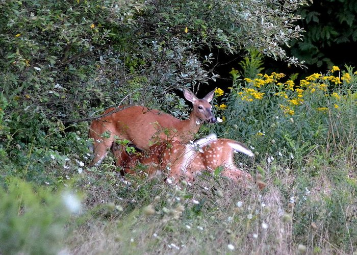 Deer Greeting Card featuring the photograph Mom And Babies by Lisa Jaworski