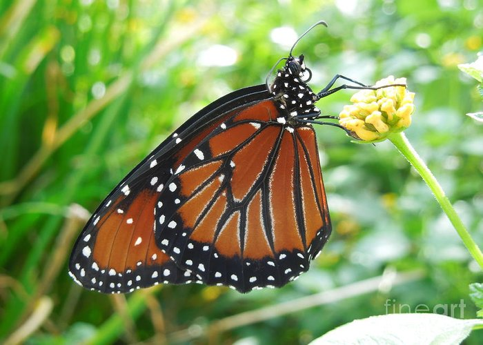 Monarch Butterfly Greeting Card featuring the photograph Monarch Butterfly by Chad and Stacey Hall
