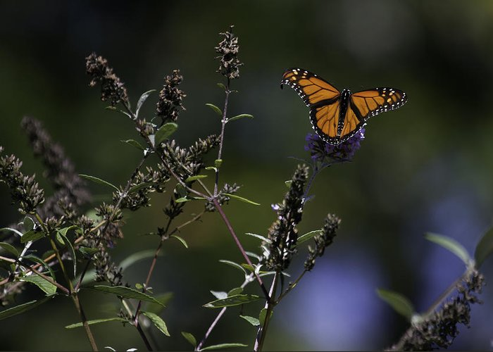 Monarch Butterfly Photographs Greeting Card featuring the photograph Monarch In Morning Light by Rob Travis