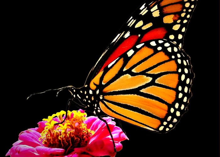 Nature Greeting Card featuring the photograph Monarch On Zinnia by John From CNY
