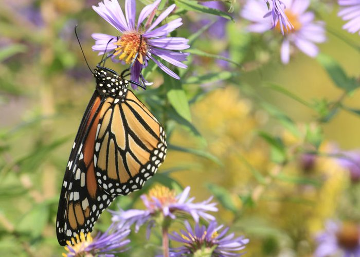 Butterflies Greeting Card featuring the photograph Monarch profile one by Alan Rutherford