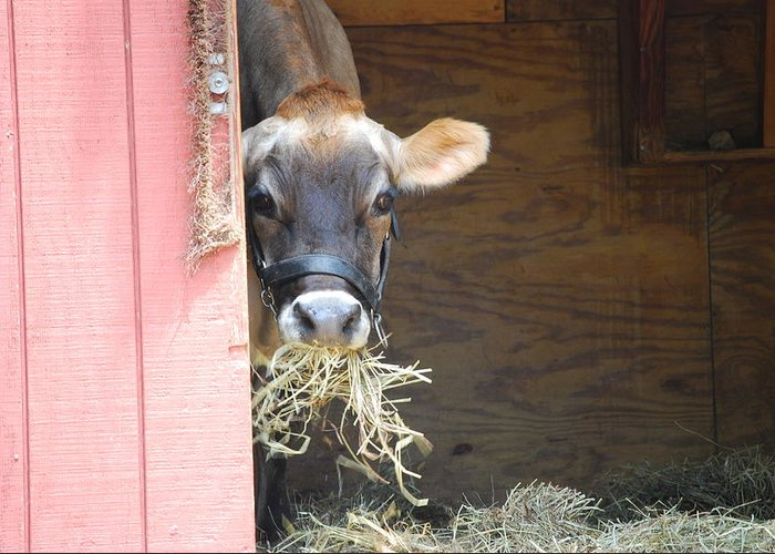 Jersey Cow.cow.hay.eating.chewing.busy.eyes.ear.barn.barn Door.door Greeting Card featuring the photograph Moo Now by Kathy Gibbons