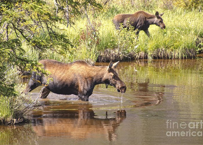 Moose Greeting Card featuring the photograph Moose Family by Andre Babiak
