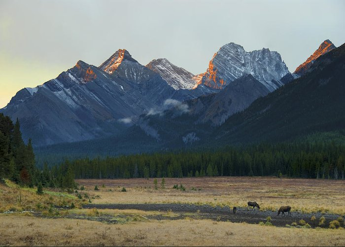 Animals In The Wild Greeting Card featuring the photograph Moose Grazing At Sunset With Mountains by Philippe Widling