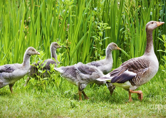 Aloof Greeting Card featuring the photograph Mother Goose Leading Goslings by Simon Bratt Photography LRPS
