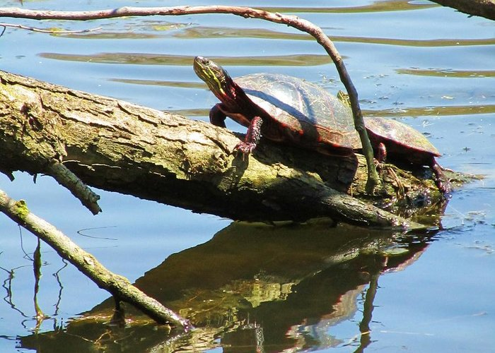 Mother And Baby Turtle Greeting Card featuring the photograph Mother's Day by Todd Sherlock