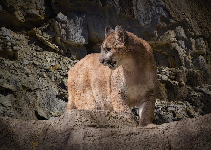 Art Greeting Card featuring the photograph Mountain Lion on the Prowl by Randall Nyhof