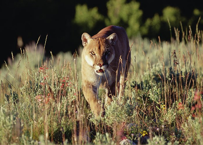 d60dad7d3890f Mountain Lion Puma Concolor Walking Greeting Card for Sale by Tim ...