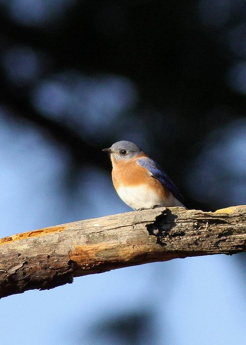 Bluebirds Greeting Card featuring the photograph Mr. Bluebird by Travis Truelove