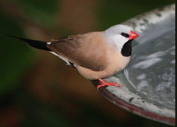 Finch Greeting Card featuring the photograph Mr. Red Beak by Andrea OConnell