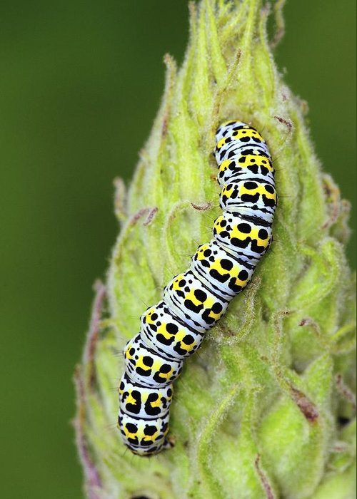 Mullein Moth Greeting Card featuring the photograph Mullein Moth Caterpillar by Colin Varndell