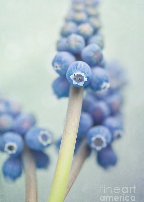 Grape Hyacinths Greeting Card featuring the photograph Muscari by Priska Wettstein