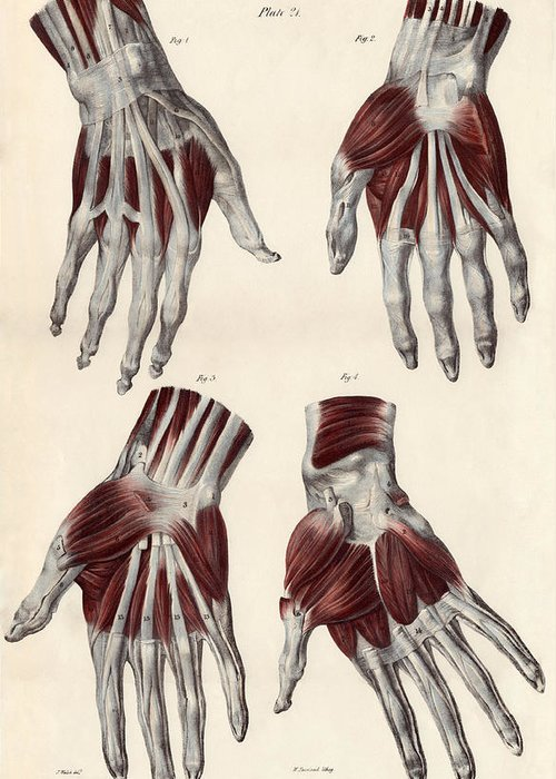 Hand Greeting Card featuring the photograph Muscles Of The Hand by Sheila Terry