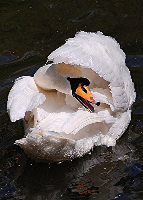Mute Swan Greeting Card featuring the photograph Mute Swan by Patricia Tapping
