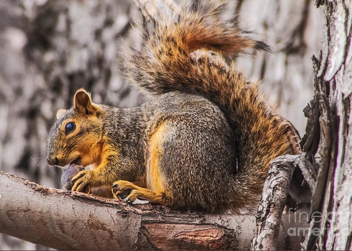 Squirrel Greeting Card featuring the photograph My Nut by Robert Bales