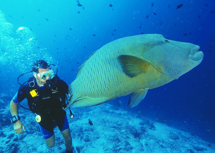 Wrasse Greeting Card featuring the photograph Napoleon Wrasse And Diver by Matthew Oldfield