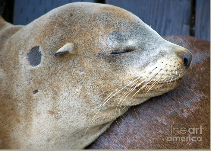 Sea Lion Greeting Card featuring the photograph Napping by Gwyn Newcombe