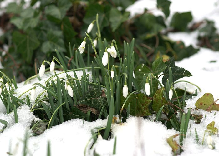 Winter Greeting Card featuring the photograph Nearly Spring by David Birchall