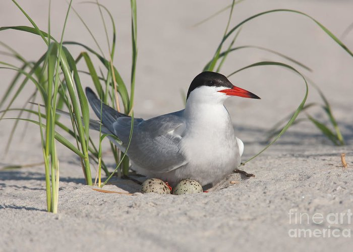 Clarence Holmes Greeting Card featuring the photograph Nesting Common Tern by Clarence Holmes
