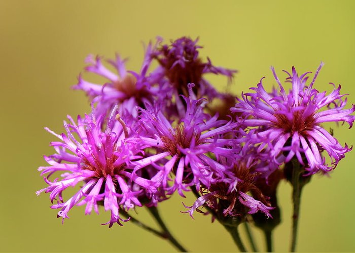 Nature Greeting Card featuring the photograph New York Ironweed by David Pickett