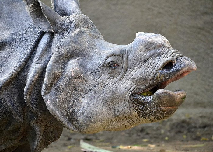 Rhinoceros. Rhino Greeting Card featuring the photograph No One Ever Listens by Fraida Gutovich
