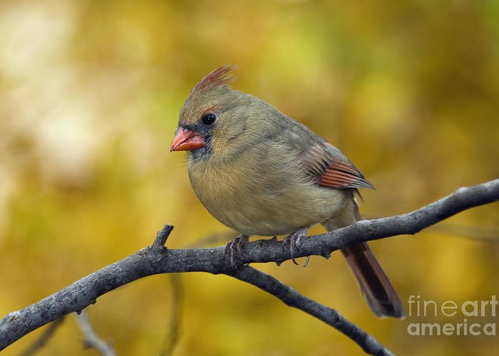 Female Greeting Card featuring the photograph Northern Cardinal Female - D007849-1 by Daniel Dempster