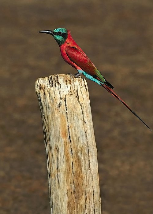 Northern Carmine Bee-eater Greeting Card featuring the photograph Northern Carmine Bee-eater by Tony Beck