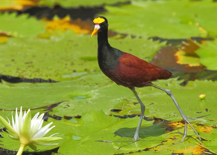 Northern Jacana Greeting Card featuring the photograph Northern Jacana by Andrew McInnes