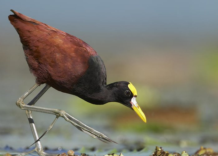 00176933 Greeting Card featuring the photograph Northern Jacana Foraging Costa Rica by Tim Fitzharris
