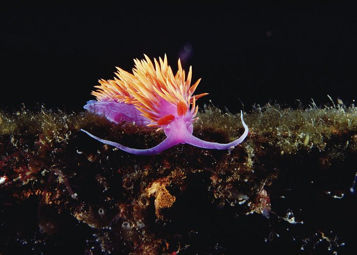 00095066 Greeting Card featuring the photograph Nudibranch Brightly Colored Arctic Ocean by Flip Nicklin