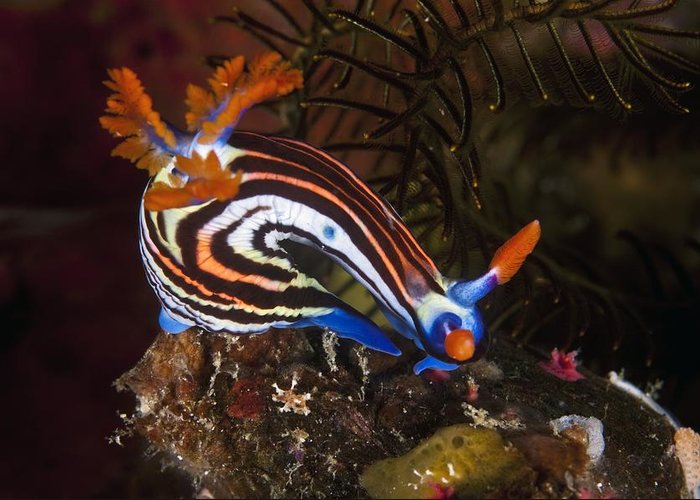 Nudibranch Greeting Card featuring the photograph Nudibranch by Matthew Oldfield
