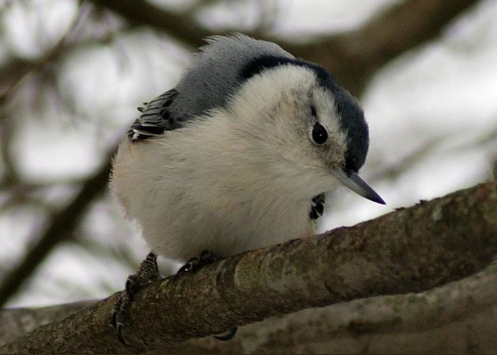 Nuthatch Greeting Card featuring the photograph Nuthatch I by Joe Faherty