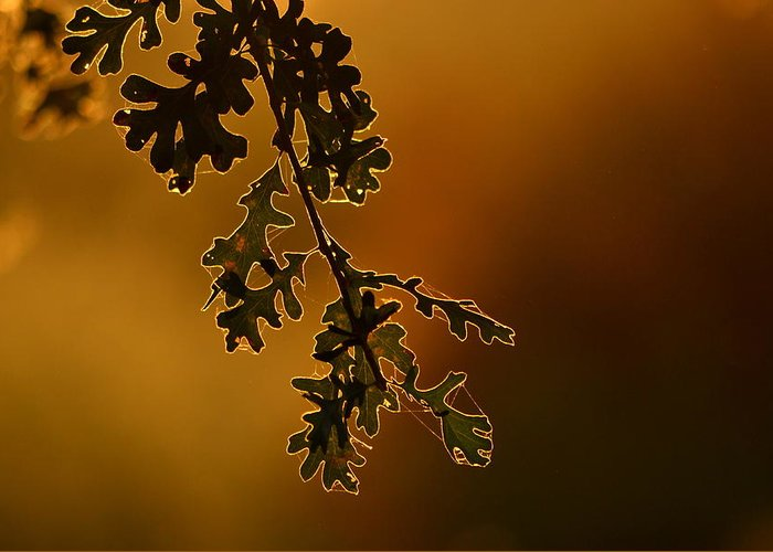 Oak Greeting Card featuring the photograph Oak Leaves by Rima Biswas