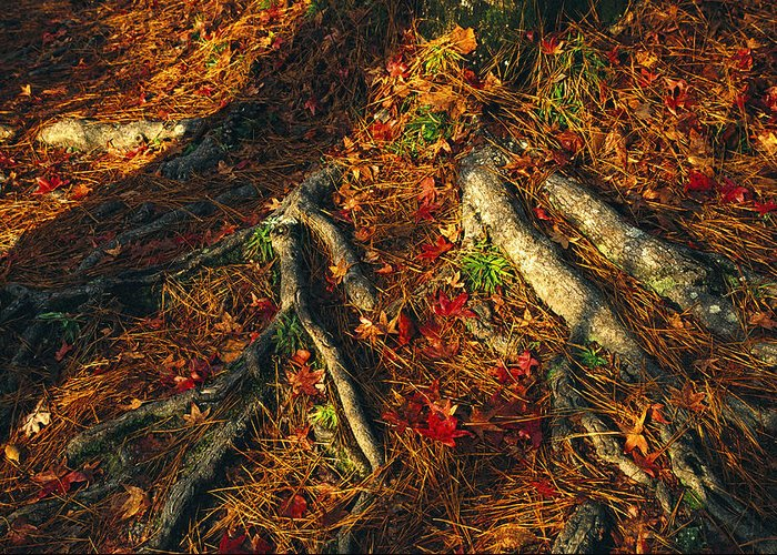 North America Greeting Card featuring the photograph Oak Tree Roots And Pine Needles by Raymond Gehman