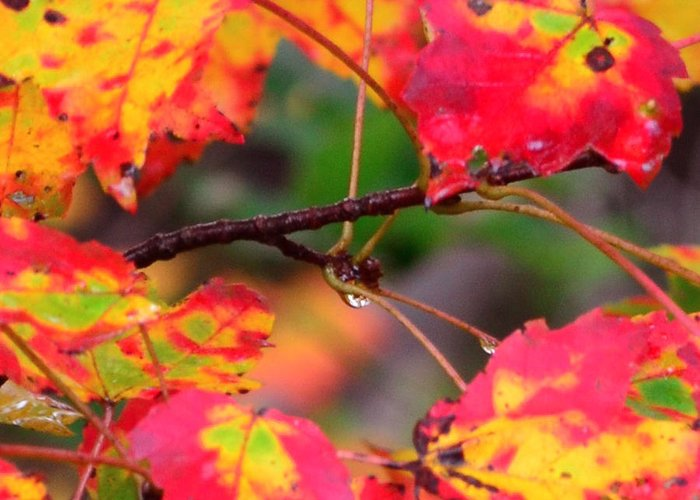 New England Greeting Card featuring the photograph October Maple by Mandi Howard
