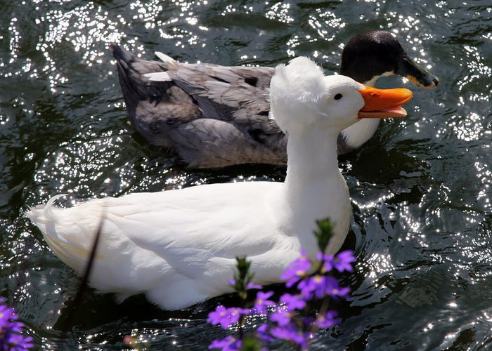 Ducks Greeting Card featuring the photograph Oh Happy Day by Karen Wiles