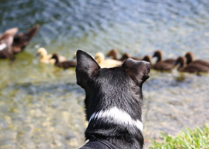 Dogs Greeting Card featuring the photograph Oh He Wants To Play With Ducks by Andrea OConnell
